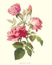roseparfum