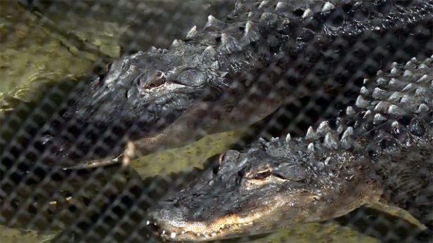 LA Zoo alligator couple_1490309307628.jpg_6671299_ver1.0_640_360.jpg